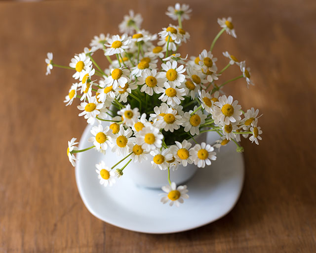 カモミールの花1