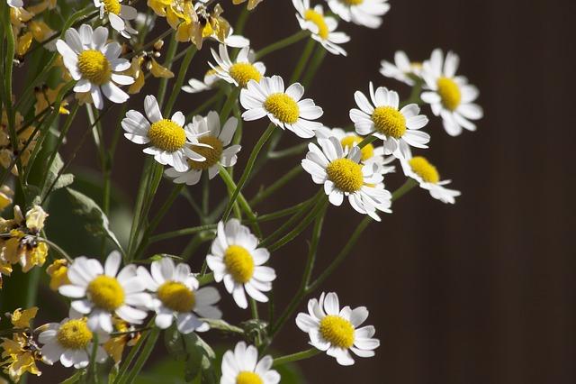 カモミールの花2
